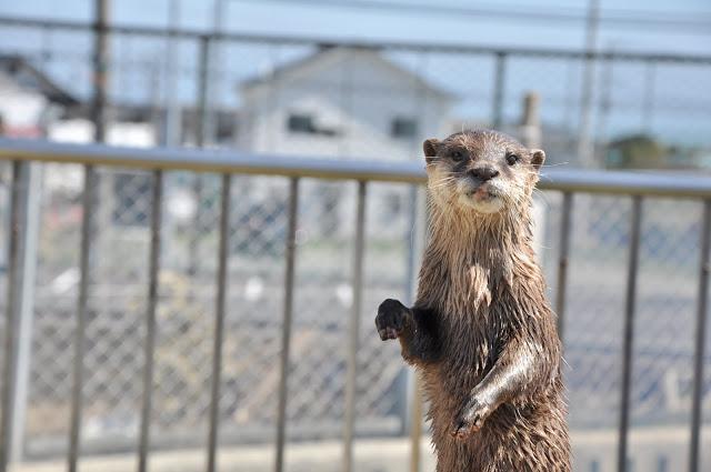 日立市かみね動物園のコツメカワウソ