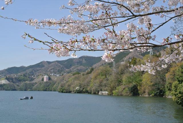 相模湖の桜