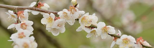 水戸の偕楽園の梅